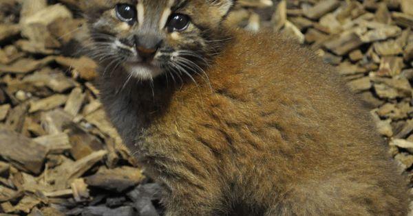 Asian Golden Cat Kitten Usual Litter Size 1 Kitten Maximum Litter Size 3 Kittens Month Kittens Are Born In Asian Leopard Cat Asian Cat Small Wild Cats