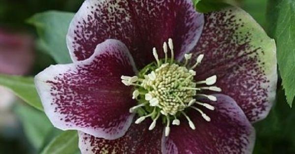 Ciemiernik Wschodni Pretty Ellen Spotted Helleborus Orientalis Pretty Plants Garden