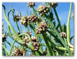 Growing Egyptian Onions In Your Backyard Perennial Vegetables