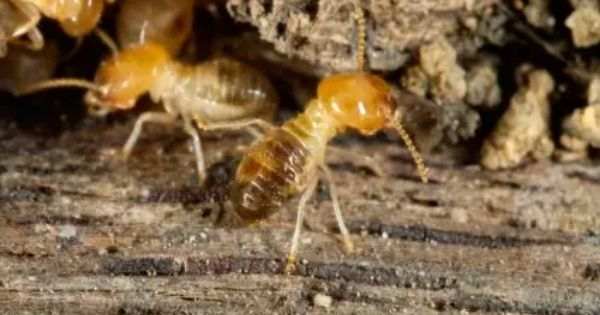 Como Acabar Con Las Termitas En La Pared Remedios Caseros Para Eliminar Las Termitas Termitas Eliminar