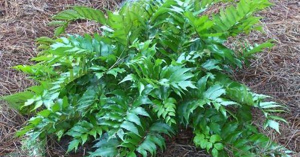 Japanese Garden Plants Names Photo Of Cyrtomium Falcatum