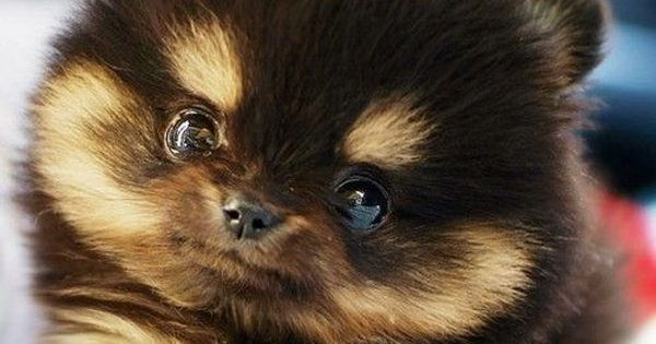 Free Pomeranian Puppies | This Teacup Pomeranian is the Cutest Thing Ever