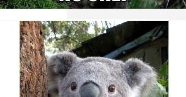 Silly koala