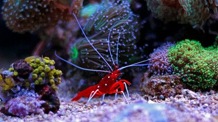 Lysmata Debelius Red Fire Shrimp With Images Saltwater Tank
