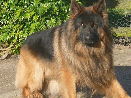 German Shepherd Dog Hair Growth