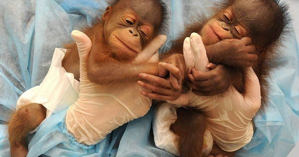 baby monkeys...lucky!! not only does this person get to hold 1 baby