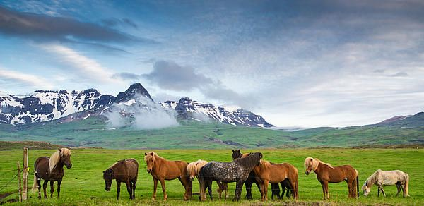 Icelandic Horses In Mountain Landscape In Iceland Matthias Hauser Beautiful Icelandic Horses In Stunning Icelandic Horse Iceland Landscape Mountain Landscape
