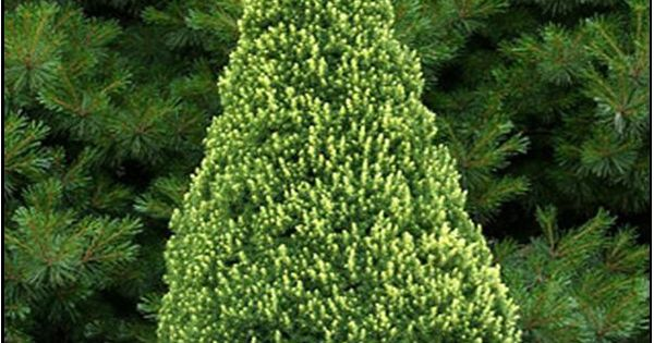 Rainbow 39 s end alberta spruce 2m high 1m wide slow for Small slow growing evergreen trees