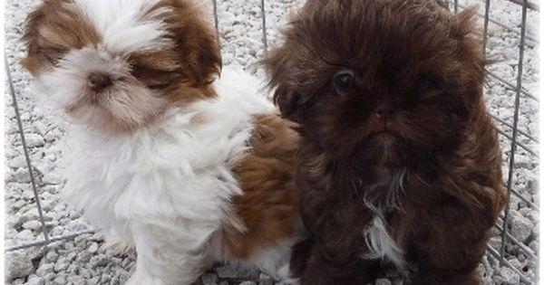 Glory Ridge Parti And Chocolate Shih Tzu At 8 Weeks Of Age Puppy Grooming Baby Shih Tzu Teddy Bear Puppies