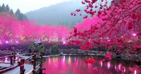 lighted cherry blossom lake sakura japan like