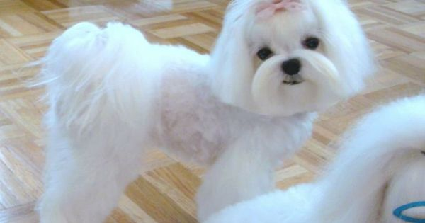 Maltese, Hair cut and Country on Pinterest