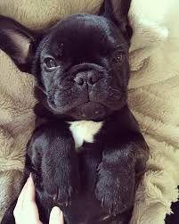 Related Image Franzosische Bulldoggenbabys Babyhunde Franzosische Bulldogge