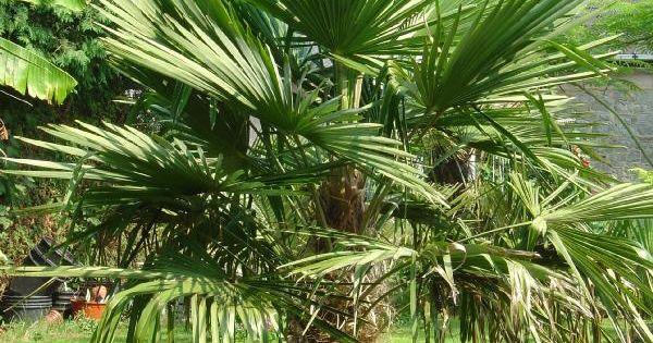 trachycarpus fortunei palmier de chine ou frange home garden pinterest. Black Bedroom Furniture Sets. Home Design Ideas