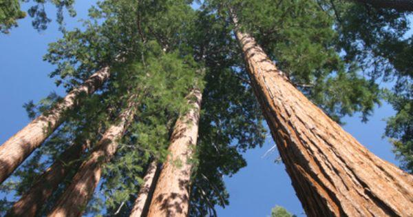 Der H Chste Baum Der Welt Der K Stenmammutbaum Hyperion Mammutbaum Baum Regenwalder