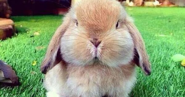 cute bunny with chubby cheeks cutebunny cute bunny chubbycheeks