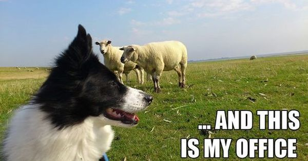 10 Best Border Collie Memes Of All Time In 2020 Border Collie