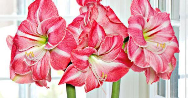 Amaryllis Summertime White Flower Farm Amaryllis Flowers
