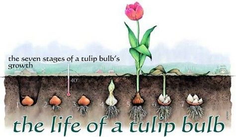 Tulip Life Cycle Planting Tulips Planting Tulip Bulbs Spring Flowering Bulbs