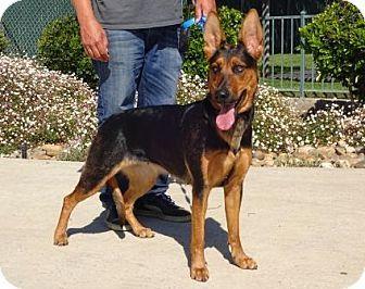 Lathrop Ca German Shepherd Dog Doberman Pinscher Mix Meet Remy