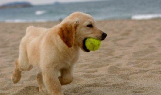 Lab Puppies on Pinterest | Labrador Puppies, Labrador Retriever ...