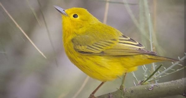 Yellow warbler wolf lake fish hatchery kalamazoo mi for Fish hatchery near me