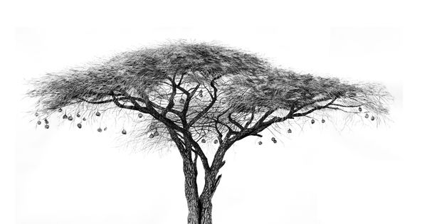 charcoal drawings by ashleigh olsen acacia and weaver nests drawing of acacia tree art. Black Bedroom Furniture Sets. Home Design Ideas