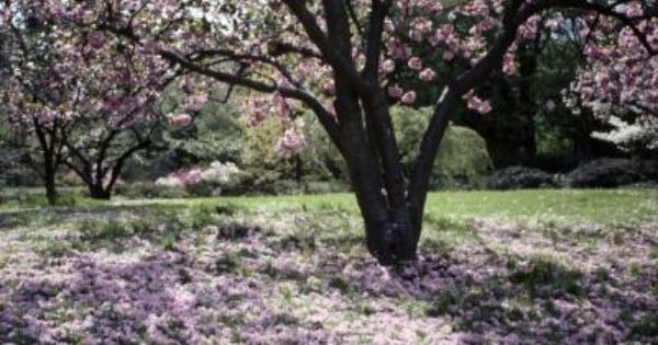 How To Fertilize An Old Japanese Cherry Tree Japanese Cherry Tree Cherry Tree Tree