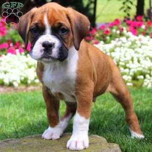 Pin By Raul Zapata On Puppies Of The Day Boxer Puppies For Sale Boxer Puppies Boxer Dogs