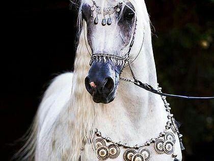 Anna Snitkina An Pferde Arabische Pferde Hubsche Pferde