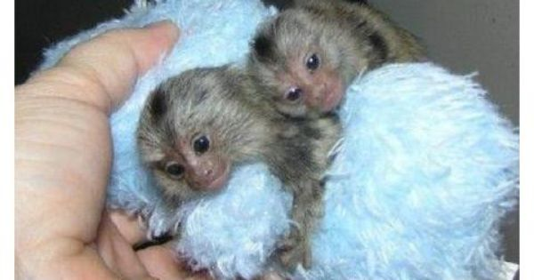 Jovial Marmosets And Sugar Gliders For Sale Monkeys For Sale Marmoset Monkey Marmoset Monkey For Sale