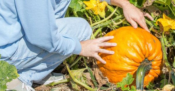 How Long Does it Take to Grow Pumpkins From Seeds? | Grow ...