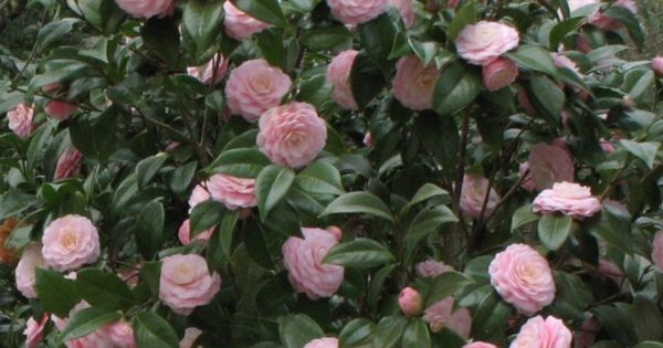 Camellia Japonica Pink Perfection Great As Shade Plant For Side Of House Gets 8 10ft Tall Shade Plants Plants Indoor Flowering Plants