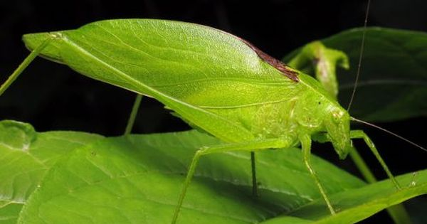This Photo Of A Katydid Is A Great Example Of Camouflage In Nature The Katydid Is Another Type Of Insect That Closely Nature Projects Camouflage Prey Animals