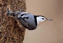 Wild Birds Unlimited Botm Nuthatches Arvada Co Wild Birds Unlimited Nuthatch Wild Birds