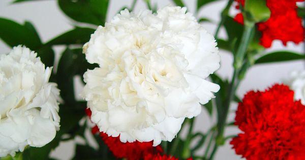 Claveles flores y jardines hermosos pinterest for Plantas ornamentales clavel