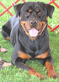 Looks Like My Macy Girl Unless You Have Had A Rottie You Can