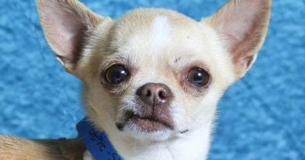 Petango Com Meet Chopper A 4 Years 1 Month Chihuahua Short Coat Available For Adoption In Colorado Springs Co Chihuahua Pets Animals