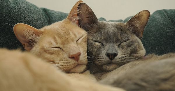 Burmese Cats Cuddle Cat Cuddle Burmese Cat Pretty Cats