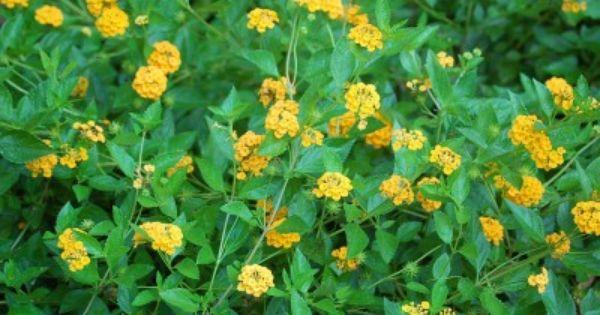 How To Propagate Lantana Learn How To Grow Lantana From Cuttings And Seeds Lantana Plant Lantana Lantana Flower