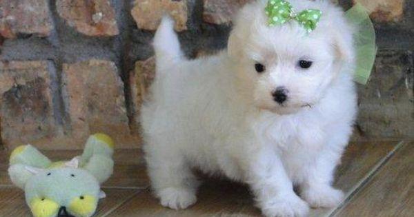Puppies For Sale In Dubuque Iowa Yakaz Maltipoo Puppy Maltese Puppy Puppies