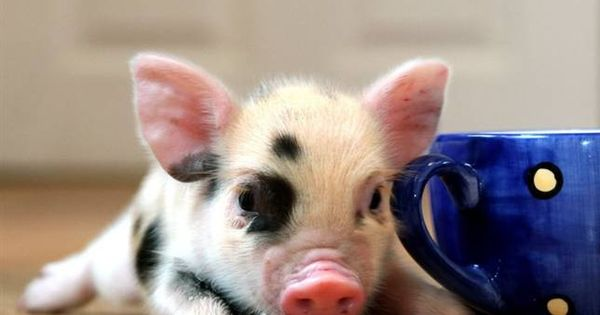 teacup pig. with a teacup. I have always wanted a pet pig.