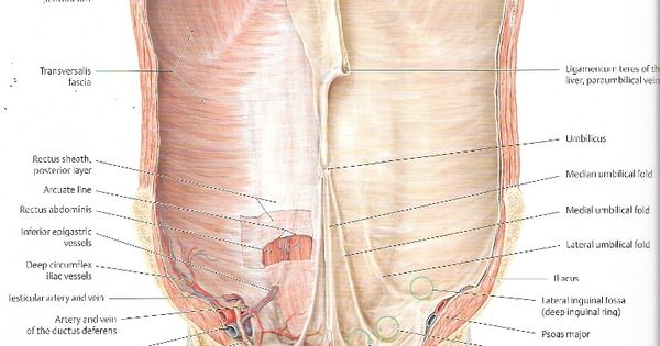 Falciform Ligament Connection to the Anterior Abdominal ...