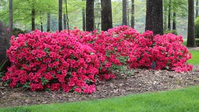 Only Red Azalea That Blooms Spring Summer And Fall