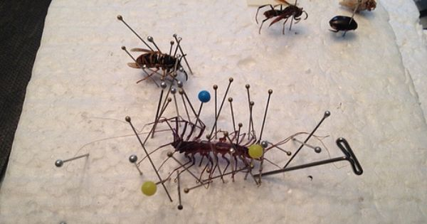 Photo Steps To Pinning A Bug Our Insect Collection By