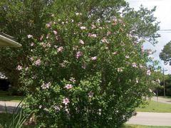 Hibiscus Syriacus L Plants Hedging Plants Plant Finder