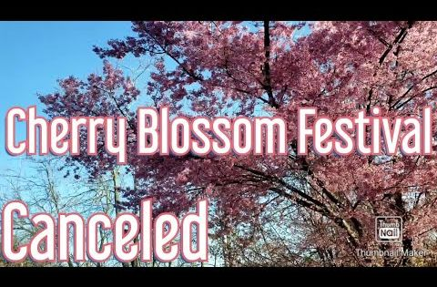 Pin By Alojapan On Japan Cherry Blossom Festival Cherry Blossom Blossom