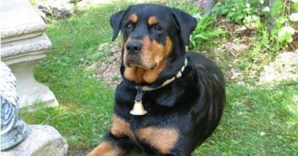Lost Dog Rottweiler Ottawa On Canada Losing A Dog Animals