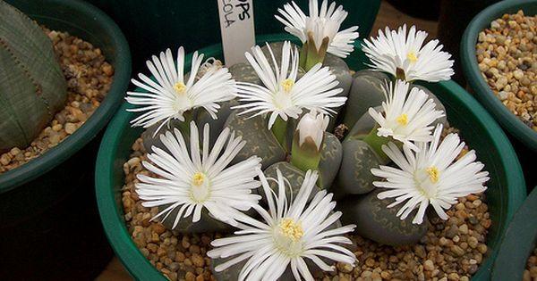 أنواع نبات الصبار تصنيف نبات الصبار أزهار نبات الصبار Plants Lithops Projects