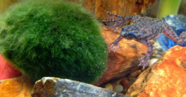 Marimo balls african dwarf frog fish tank pinterest for Betta fish moss ball