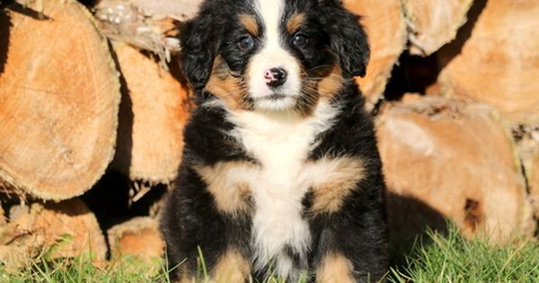 Bernese Mountain Dog Puppy For Sale In Mount Joy Pa Adn 54619 On Puppyfinder Com Gender Female Age 7 W Bernese Mountain Dog Puppy Puppies Puppies For Sale
